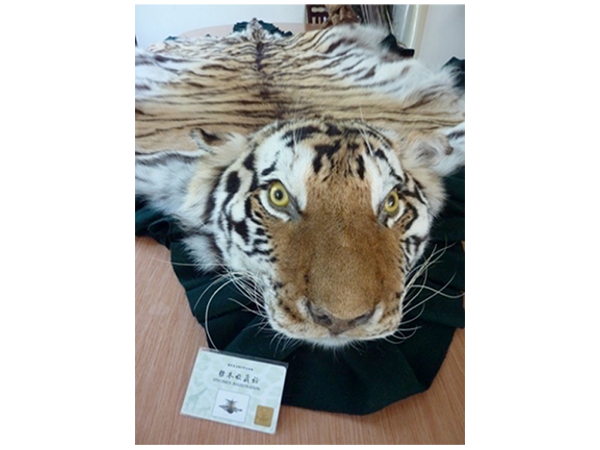 China allows the skins of captive bred tigers to be turned into rugs and taxidermy items. The taxidermist offering this skin to investigators explained how the licensing system could be used to launder illegally sourced skins