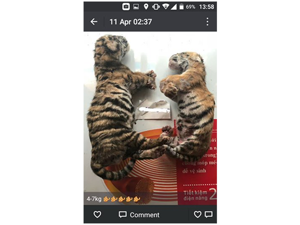 Dead tiger cubs soaked in jars of wine with other wildlife and consumed in Vietnam as a traditional remedy