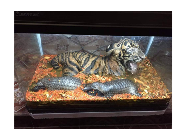 Dead tiger cub and pangolins on display
