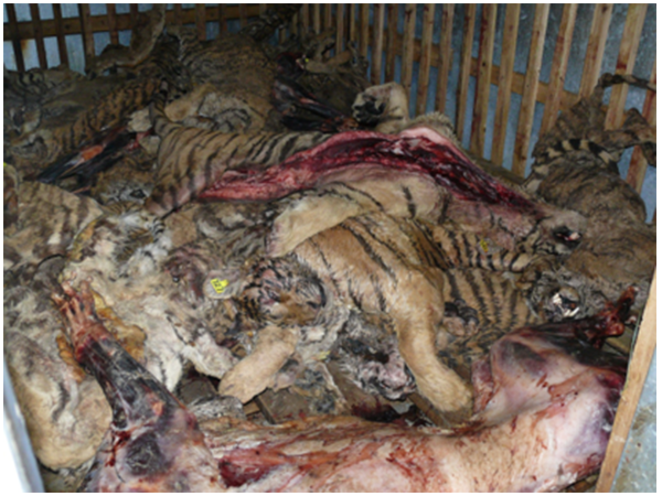 Carcasses in the freezer at one of China's largest tiger farms