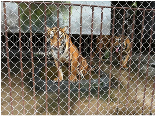Captive tigers in one of China's biggest farms