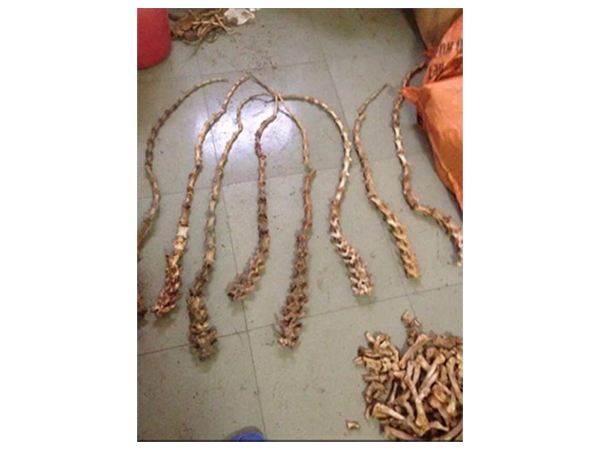 Tiger tail bones are being sold as good luck charms